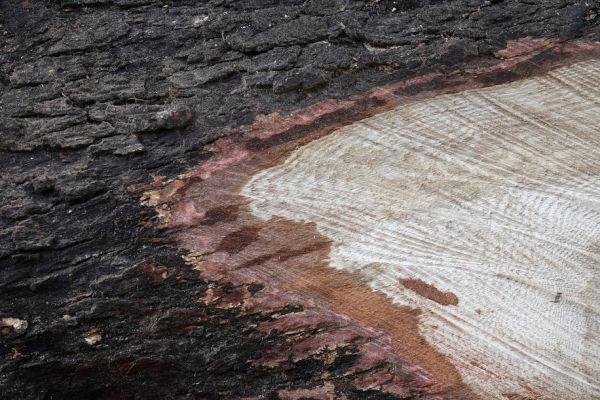 July_2020_-_Fallen_tree_planted_3.jpg